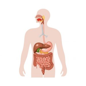 Illustration of digestive system, from mouth through the intestines